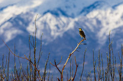 Western Meadowlark Perched on a Tree Royalty Free Stock Image
