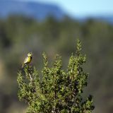 Western Meadowlark, Sturnella neglecta Royalty Free Stock Photo
