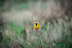 Western Meadowlark (Sturnella neglecta) Stock Image