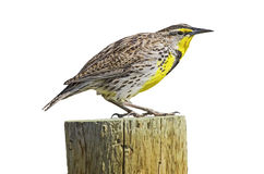 Western Meadowlark Sturnella neglecta isolated Stock Photos