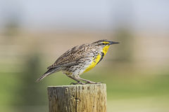 Western Meadowlark Sturnella neglecta Royalty Free Stock Photos