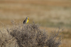 Western Meadowlark, Sturnella neglecta Royalty Free Stock Photos