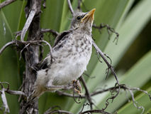 Western mockingbird fledgling. Fledgling Mimus polyglottos leucopterus just 3 minutes out of the nest. Yucca background Stock Photo