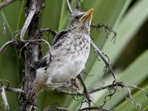 Western mockingbird fledgling. Stock Photo