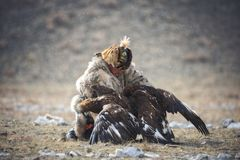 Bayan-Oolgii, Mongolia - October 01, 2017: Golden Eagle Festival. Hunter-Nomad Attempts To Separate Two Big Fighting Golden Eagle royalty free stock photography