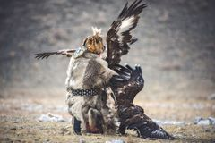 Western Mongolia, Traditional Golden Eagle Festival. Hunter-Nomad Attempts To Separate Two Big Fighting Golden Eagles. Ancient Ki royalty free stock image