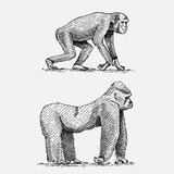 Western or mountain gorilla and chimpanzee hand drawn, engraved wild animals in vintage or retro style, zoology african Stock Photos