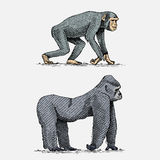 Western or mountain gorilla and chimpanzee hand drawn, engraved wild animals in vintage or retro style, zoology african Royalty Free Stock Photos