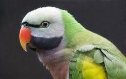 Western Moustached Parakeet Bird. Beautiful Western Moustached Parakeet bird from India and China Stock Photos