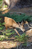 Western Mule Deer Buck eating Royalty Free Stock Photography