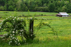 Western NC mountain barn with blackberry bush on left side. Western NC rural country mountain farm with budding blackberry bush and fence on left side stock photography