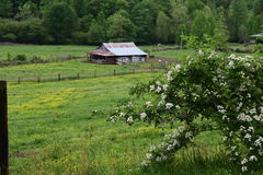 Western NC mountain barn with blackberry bush. Western NC rural country mountain farm with budding blackberry bush and fence royalty free stock photo