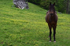 Western NC mountain farm horse. In pasture stock photography