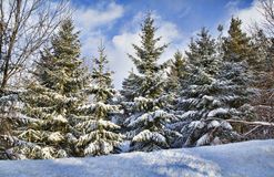 Western New York Winter. Snow covered evergreen trees the morning after a light snowstorm in Western New York stock photos