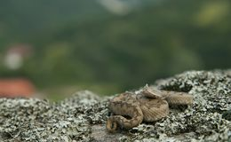 Western nose-horned viper Stock Photography