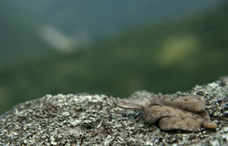Western nose-horned viper Stock Photos