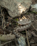 Western nose-horned viper Royalty Free Stock Images