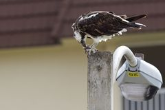 A western osprey Pandion haliaetus eating a fish on a lamppost. stock photography