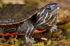 Western painted turtle. The western painted turtle,Chrysemys picta bellii, is the official reptile of the U.S. states of Colorado and Michigan Stock Photo