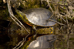 Western Painted Turtle. A western painted turtle, photographed from a kayak in the Boundary Waters of northern Minnesota Stock Photos