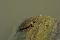 Western painted turtle Stock Photography