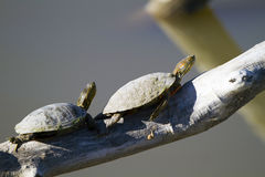 Western Painted Turtle, Chrysemys picta. Two Western Painted Turtles relax in the sun on a fallen tree over a New Mexico marsh Stock Photo