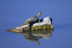 Western Painted Turtle, Chrysemys picta. A Western Painted Turtle suns himself on a log in New Mexico marsh, with full reflection Royalty Free Stock Photo