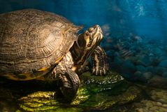 Painted grown turtle chrysemys picta sitting on rock basking in late morning sun in fresh water pond royalty free stock photos