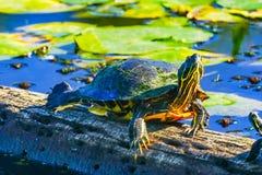Free Western Painted Turtle Juanita Bay Park Lake Washington Kirkland Stock Photo - 129562200