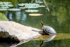 Western Painted Turtle in Pond. Western painted turtle (chrysemys picta) sitting on rock basking in late morning sun in fresh water pond Stock Image