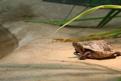 Western Painted Turtle resting AND BASKING ON A PLATFORM IN CAPTIVITY royalty free stock image