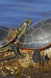 Western painted turtles Royalty Free Stock Images