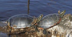 Western painted turtles Stock Photos