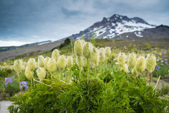 Western Pasque flower. Blooming in high mountain meadow beneath Mt. hood, Oregon Stock Photos