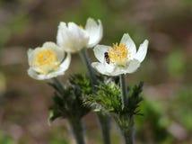 Western Pasqueflower - Anemone occidentalis Stock Photos