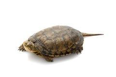 Western Pond Turtle Stock Photo
