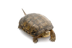 Western Pond Turtle Royalty Free Stock Images