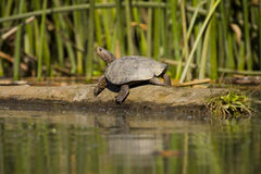 Western Pond Turtle. A seemingly smiling western pond turtle, photographed on the Cosumnes River in California. Photo taken from a kayak Royalty Free Stock Photography
