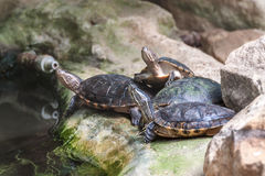 Western pond turtles Stock Photos