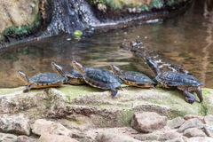Western pond turtles Stock Image