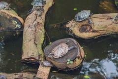 Western pond turtles enjoying the sun stock photography