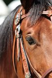 Western pony with show halter. In portraits in section with eye stock photo