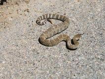 Western rattlesnake Royalty Free Stock Photos
