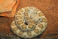 Western rattlesnake basking in terrarium Stock Photos