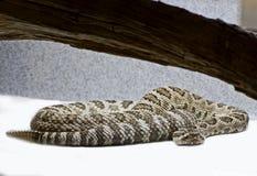 Western Rattlesnake in Captivity Stock Photos