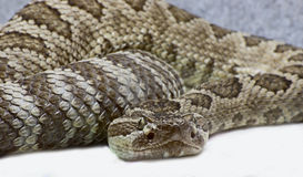 Western Rattlesnake Close Up Stock Photo