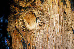 Western red cedar Stock Images