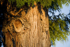 Western red cedar Royalty Free Stock Images
