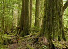 Western Red Cedar Rainforest. An old growth rainforest of Western Red Cedar remains protected witihn an ecological reserve in coastal southern BC, Canada Stock Photos