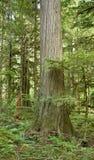 Western Red Cedar (Thuja plicata) Stock Image